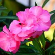 Oleander Blooming Poster