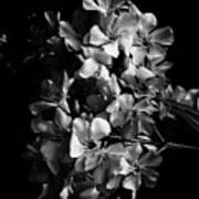 Oleander Flowers In Black And White 2 Poster