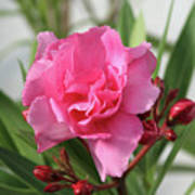 Oleander Splendens Giganteum 1 Poster