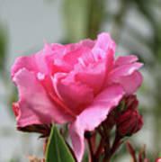 Oleander Splendens Giganteum 2 Poster