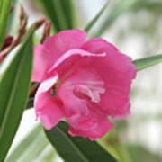 Oleander Splendens Giganteum 3 Poster
