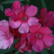 Oleanders In Pink Poster