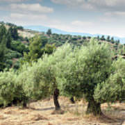 Olive Trees Hill Poster
