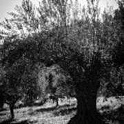 Olive Trees In Italy 2 Poster