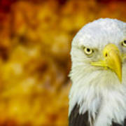 On Fire The American Bald Eagle Poster