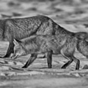 On The Prowl Bw Poster