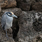 On The Rocks - Yellow-crowned Night Heron Poster