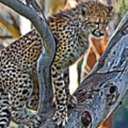 One Little Cheetah Sitting In A Tree Poster
