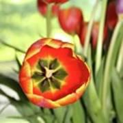 Open Tulip Poster
