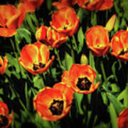 Open Wide - Tulips On Display Poster