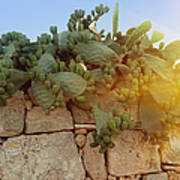 Opuntia Cactus In The Sunset Poster