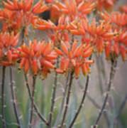 Orange Aloe  Poster