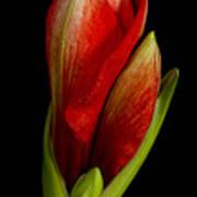 Orange Amaryllis Bloom Poster