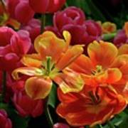 Orange And Red Tulip Lilies In Various Stages Of Bloom Poster