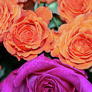 Orange And White With Pink Tip Roses Poster