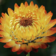Orange And Yellow Strawflower Poster