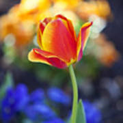 Orange And Yellow Tulip II Poster