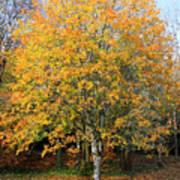 Orange Autumn Tree Poster