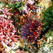 Orange Ball Corallimorph Anemone Poster