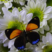 Orange Blue Butterfly On Poms Poster