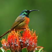 Orange-breasted Sunbird On Protea Blossom Poster