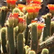 Orange Cactus Blooms Poster
