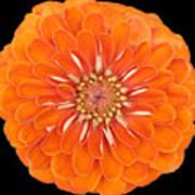 Orange Crush Zinia Poster