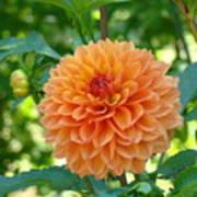 Orange Dahlia Master Gardeners Art Collection Baslee Troutman Poster