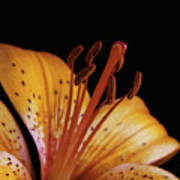 Orange Day Lilly On Black Poster