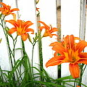 Orange Daylily At Colonial Williamsburg Poster
