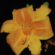 Orange Daylily Flower Blossom In A Garden Poster
