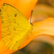 Orange Emigrant Butterfly Poster