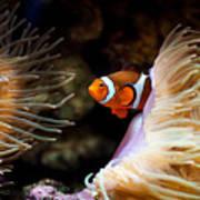 Orange Fish In Sea Anemones Poster