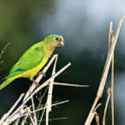 Orange-fronted Parakeet Poster