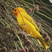 Orange Fronted Yellow Finch Panaca Quimbaya Colombia Poster