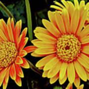 Orange Gerbera Daisies Poster