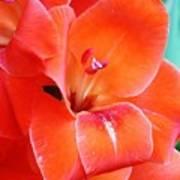 Orange Gladiola Poster