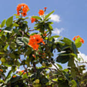 Orange Hibiscus With Fruit On The Indian River In Florida Poster