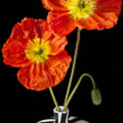 Orange Iceland Poppies Poster by Garry Gay