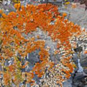 Orange Lichen Poster