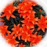 Orange Lilies Vignette Poster
