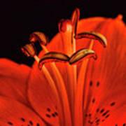 Orange Lilly  Poster