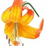 Orange Lily No 3 Poster