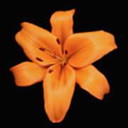 Orange Lily On Black Poster