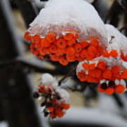 Orange Mountain Ash Berries Poster
