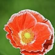 Orange Poppy 2 Poster