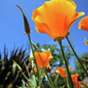 Orange Poppy Blue Sky Poster