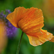 Orange Poppy Flower Poster