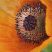 Orange Poppy With Texture Poster