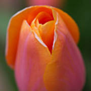 Orange Raspberry Sherbet Tulip Poster